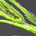 Pseudomyrmex ferrugineus 03 Arbeiterin 03