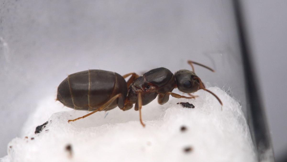 Lasius brunneus Königin 1-3