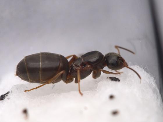 Lasius brunneus Gyne 6