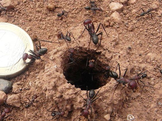 Marokko Cataglyphis Nest