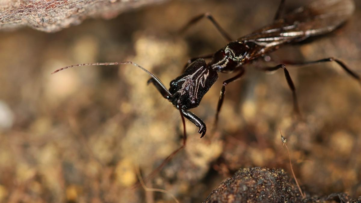 Odontomachus chelifer 04 erste Geschlechtstiere 01