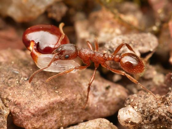 Myrmica rubra mit Samen vom Lerchensporn