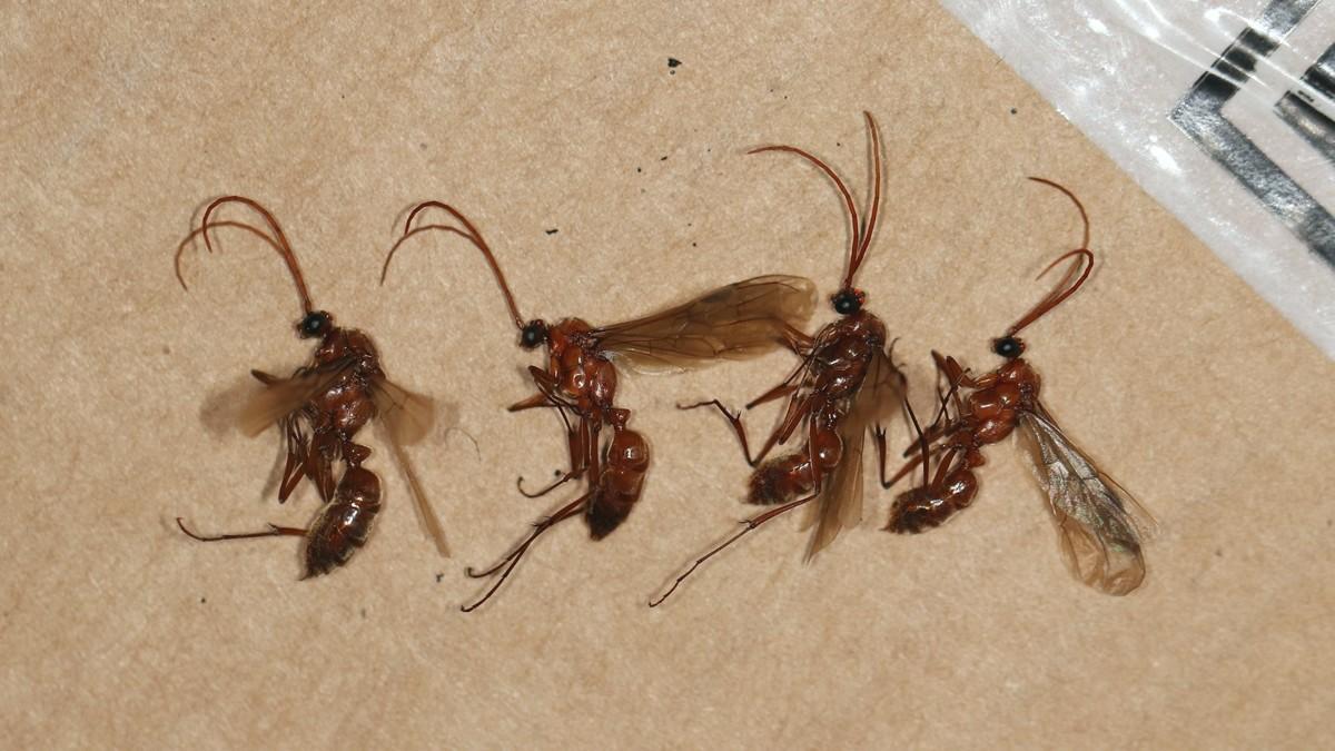 Streblognathus peetersi 35 Männchen 05