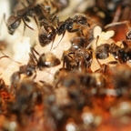 Dolichoderus bispinosus 16 mehrere Arbeiterinnen mit Brut 04