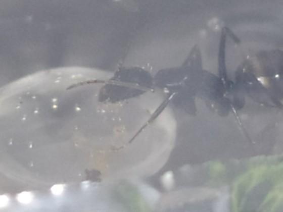 Camponotus Aethiops Arbeiterin schlürft Zuckerwasser