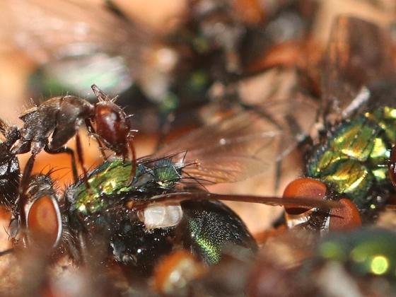 Camponotus sericeus 06 mehrere Arbeiterinnen beim Fressen 02