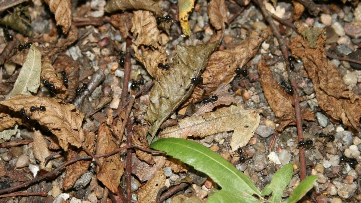 Lasius sp. fuliginosus - Ameisenstraße 01