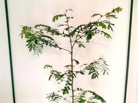 Bewohnte Vachellia (Acacia) collinsii