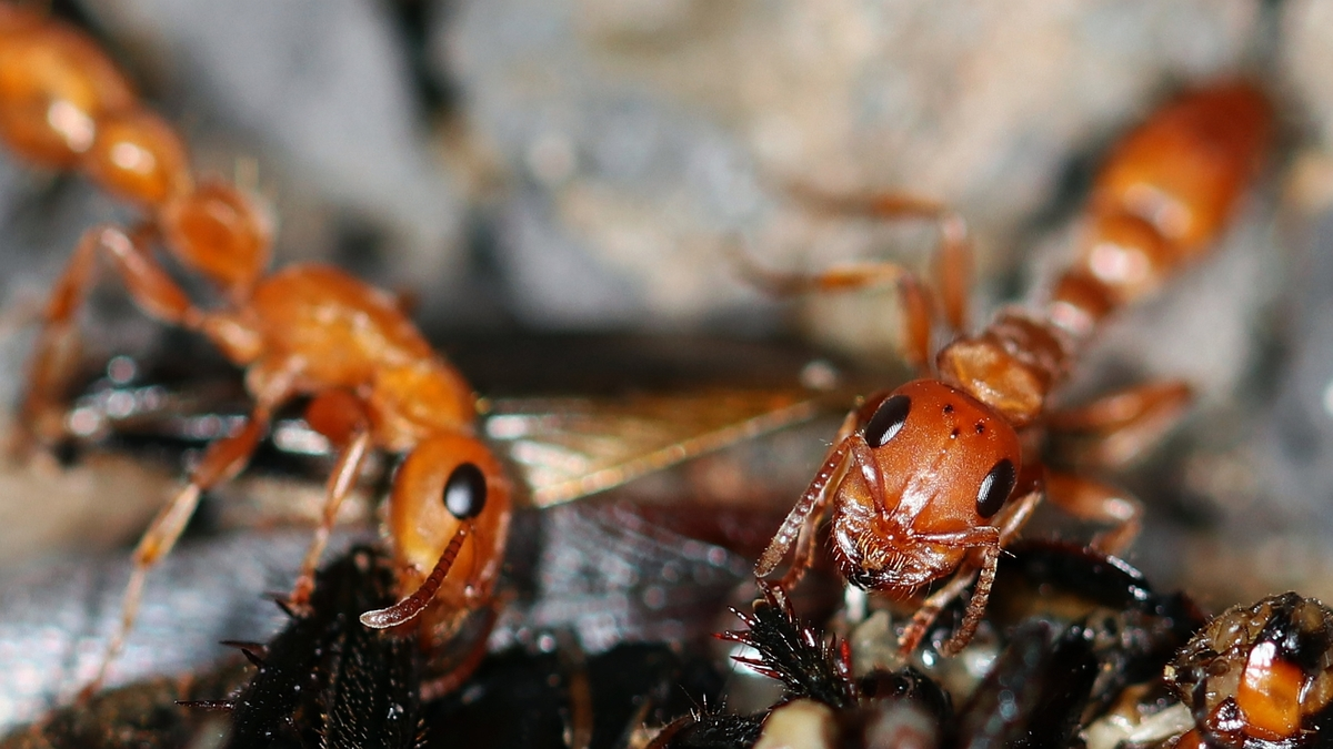 Tetraponera schulthessi 37 Arbeiterinen beim Fressen auf dem Bodengrund 07