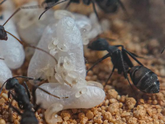 Camponotus cruentatus im September 2019