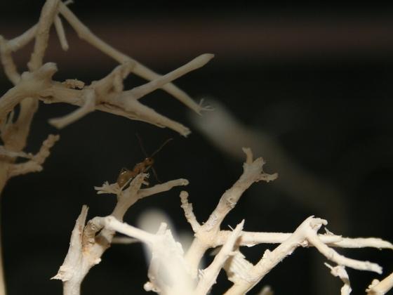 Camponotus turkestanus 05 Arbeiterin beim Erkunden der Umgebung 04