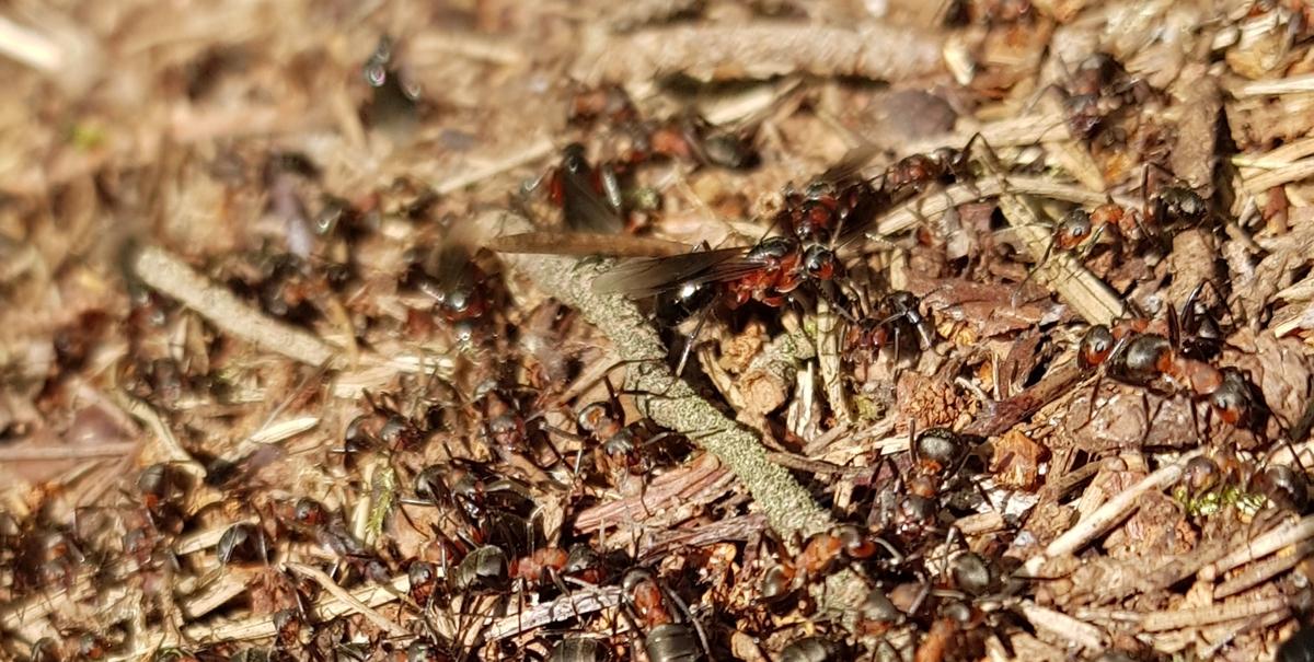 Formica s. str Nest 1