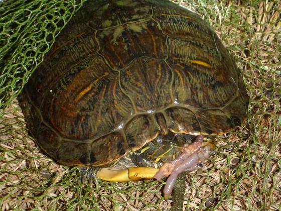 Schildkröte beim Angeln