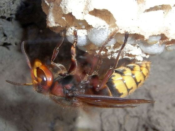 Vespa crabro Nest 14.5.20