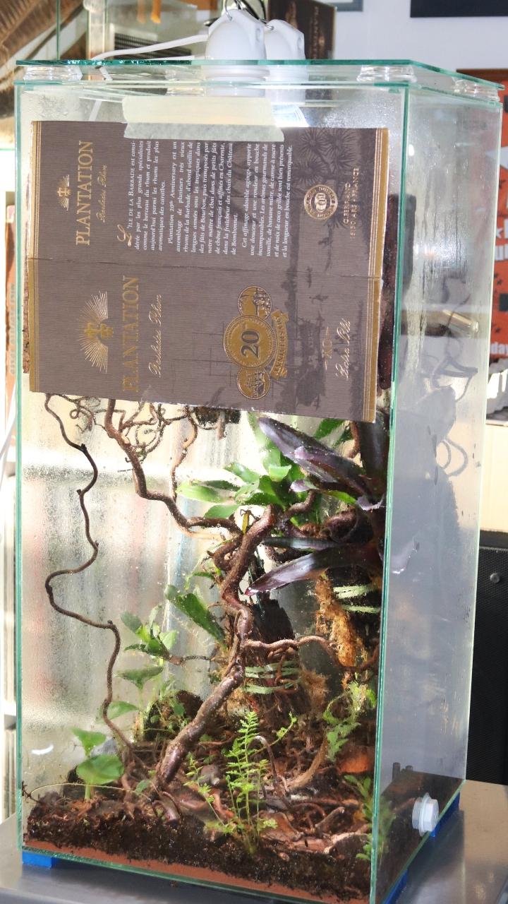 Dolichoderus bispinosus 31 Korknestarena 02
