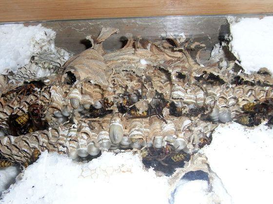 Vespa crabro 31.7.19