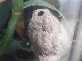 Myrmicaria arachnoides Nest