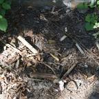 Lasius sp. niger 04 verwaist draußen (vlt. Nestausgang)