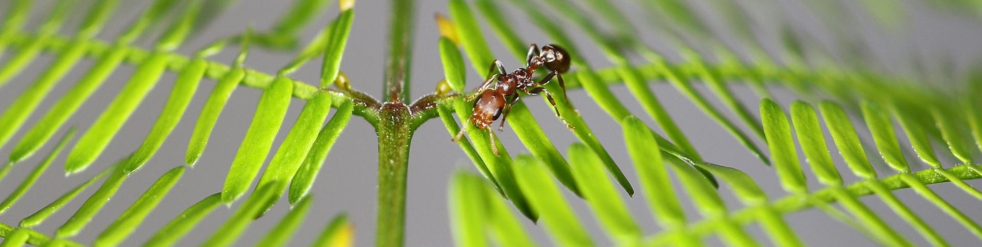 Pseudomyrmex ferrugineus 06 Arbeiterin 06