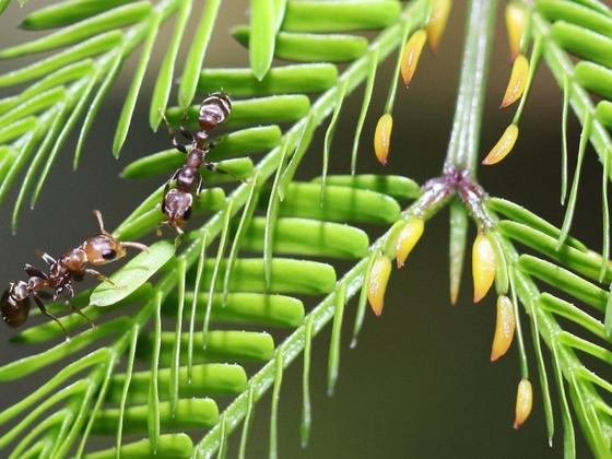 Pseudomyrmex ferrugineus 11 zwei Arbeiterinnen 01