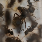 Dolichoderus bispinosus 05 Gyne mit Arbeiterinnen im RG 03
