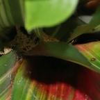 Dolichoderus bispinosus 62 Bromelie mit Materialkonstruktion 02