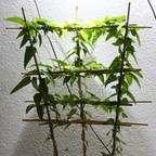 Tetraponera schulthessi 52 Passiflora 20181218 06