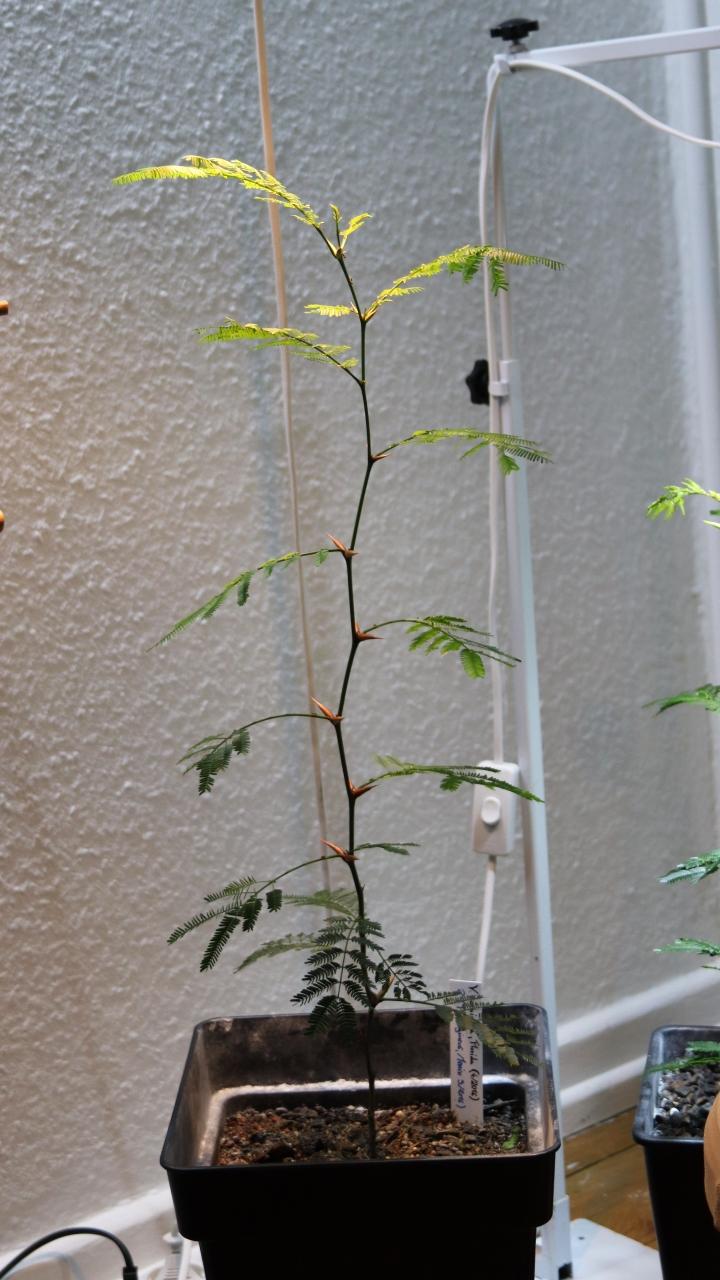 Pseudomyrmex ferrugineus 27 Vachellia cornigera 20180227 04