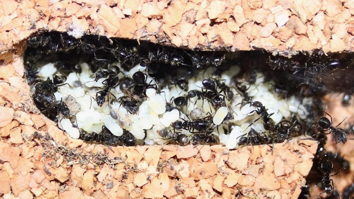 Dolichoderus bispinosus 47 Korknest 08