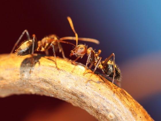 Anoplolepis steingroeveri 19 Arbeiterinnen beim Erkunden 05