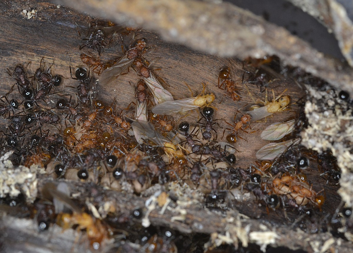 polyrhachis_rufipes_nest