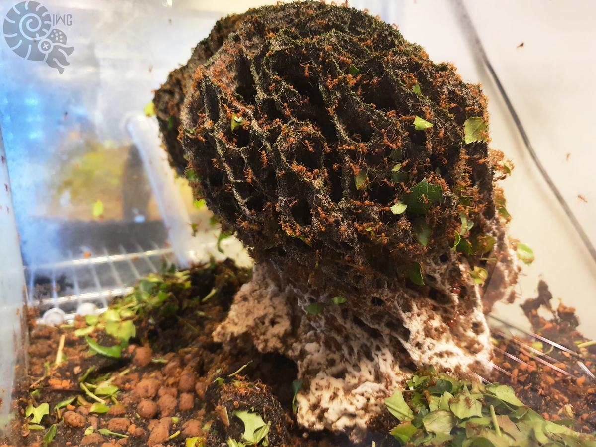 Atta cephalotes Pilz 3 [19.04.20]