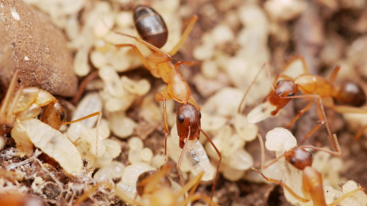 camponotus pilicornis 2
