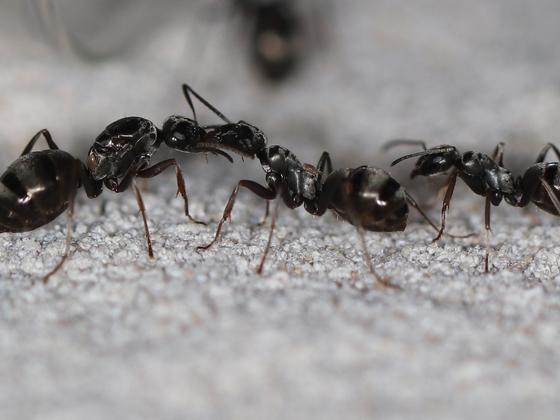 Formica fusca 02 Gyne und Arbeiterinnen mit Milbenbefall 01