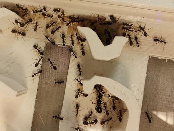 Camponotus cf. rufipes [9.9.2017]