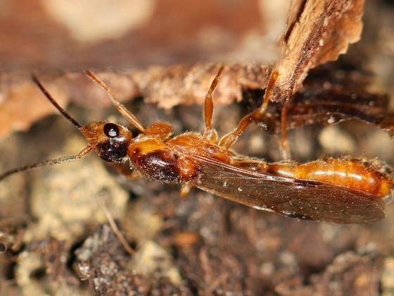 Daceton armigerum 01 Männchen 01
