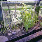 Polistes nimpha Terrarium
