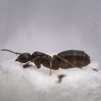 Lasius brunneus Königin 1-5