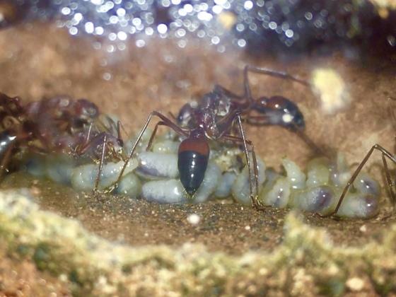 Hungrige Larven bei Myrmecia gulosa
