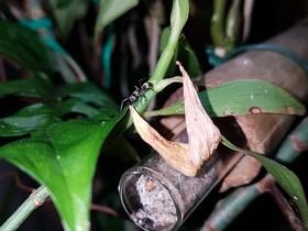 Polyrhachis sp.aus Malaysia
