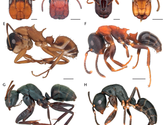Camponotus vs. Colobopsis