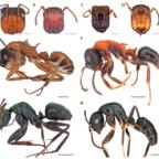 Camponotus vs. Colobopsis