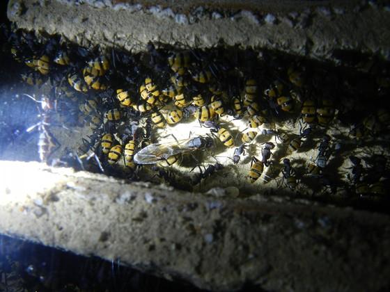 Componotus fulvopilosus