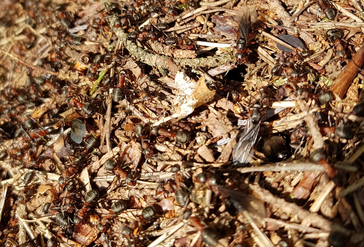 Formica s. str Nest 2