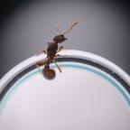 Myrmica scabrinodis - Königin am RG