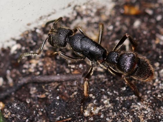 Pseudoneoponera tridentata 02 Arbeiterin 02