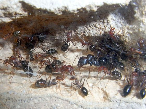 Cataglyphis niger mit Hilfsameise