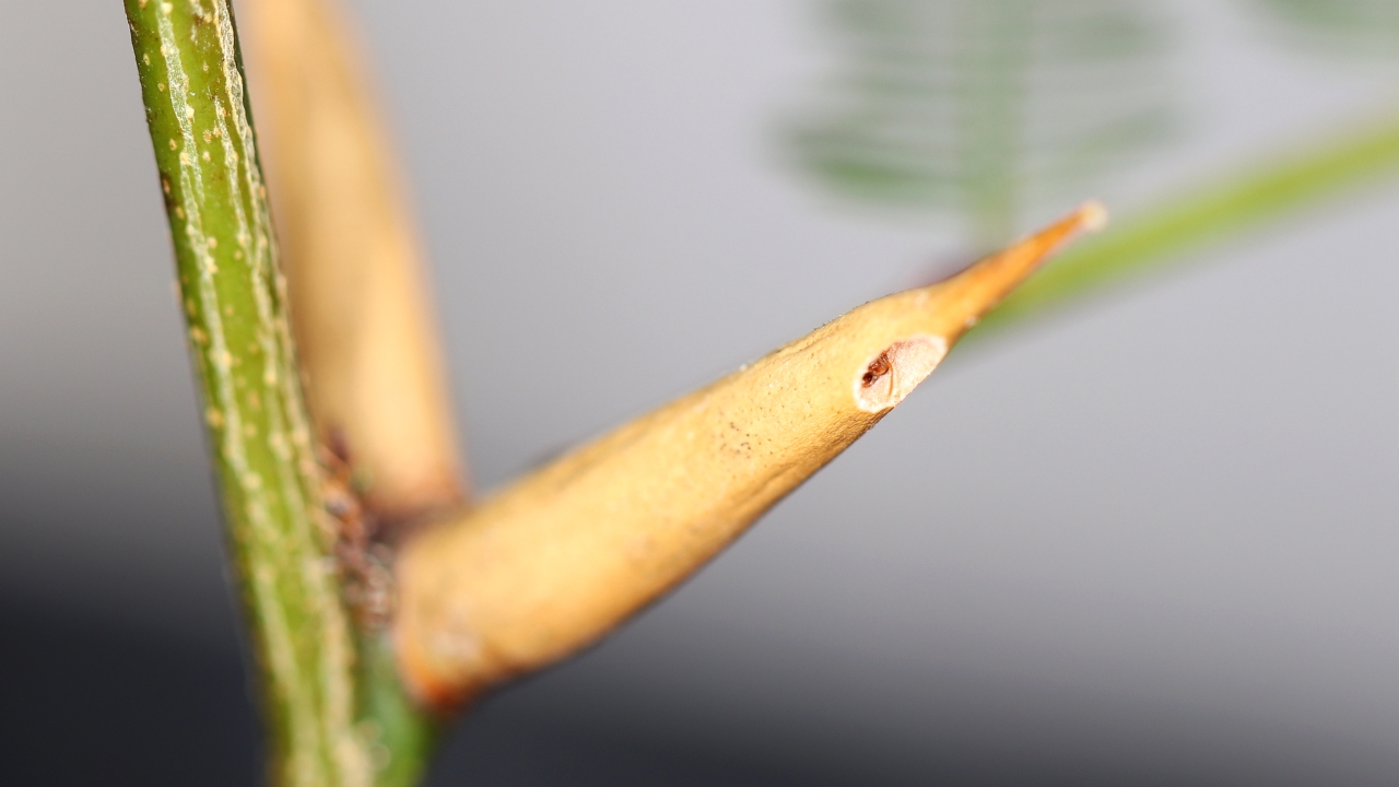 Pseudomyrmex ferrugineus 20 Arbeiterin in Domatie 01