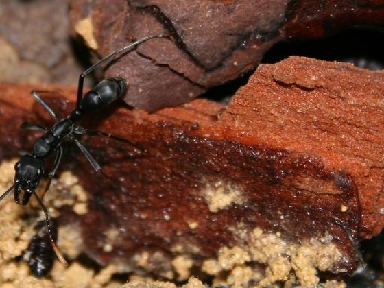 Neoponera apicalis 01 Nest