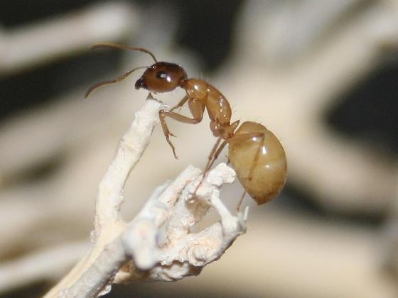 Camponotus turkestanus 09 Major Arbeiterin 03